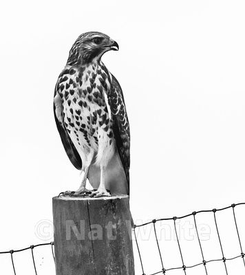Red-shouldered_hawk-B_W_Date_(Month_DD_YYYY)1_1600_sec_at_f_9.0_NAT_WHITE