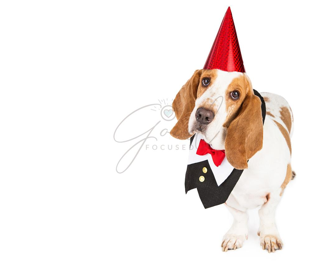 Party Basset Hound in Tuxedo Vest