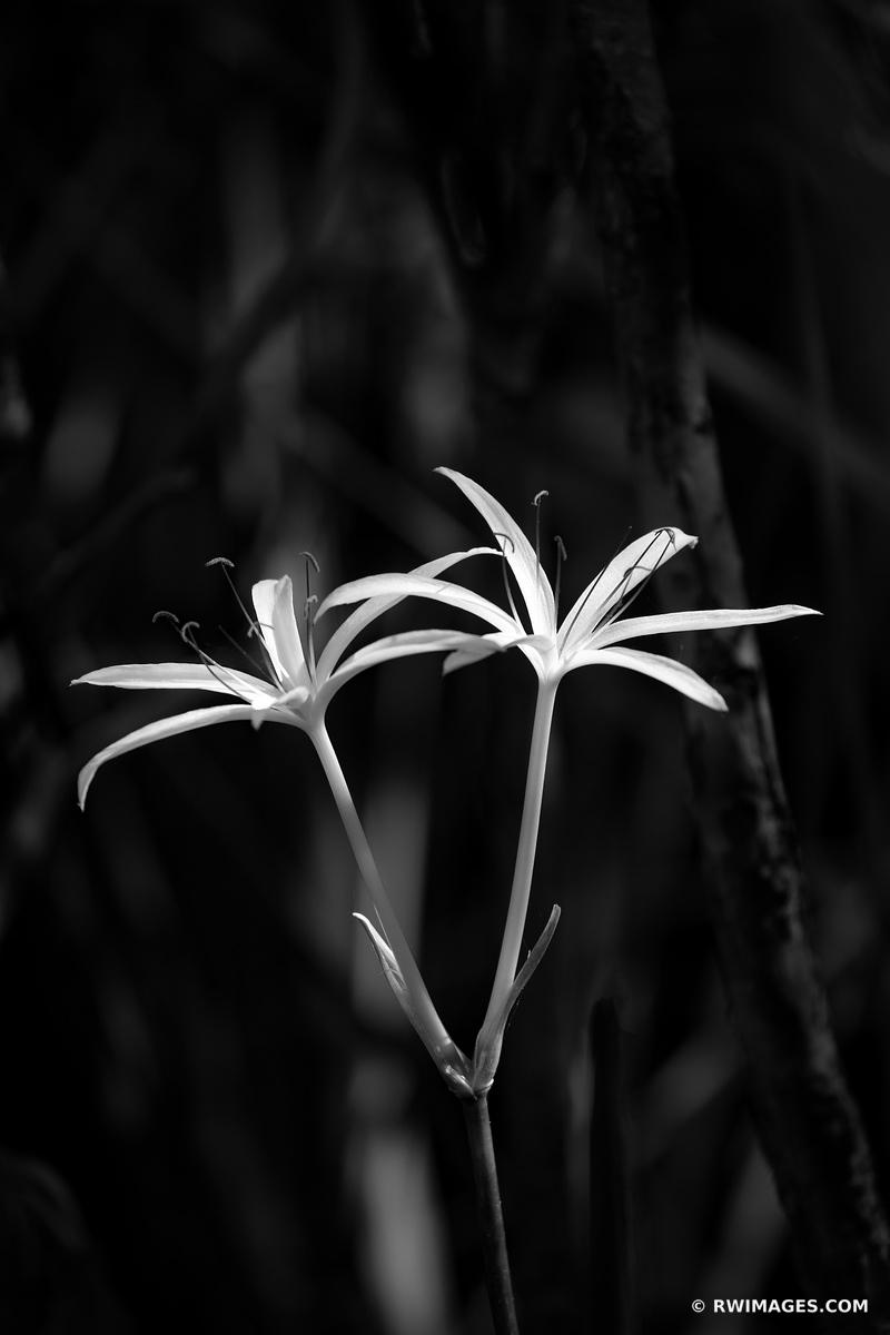 SWAMP LILY TURNER RIVER BIG CYPRESS NATIONAL PRESERVE EVERGLADES FLORIDA BLACK AND WHITE VERTICAL