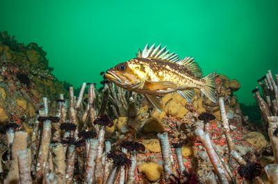 Copper Rockfish, Sebastes caurinus, swimming above Tube Worms at Steep Island, Discovery Passage.