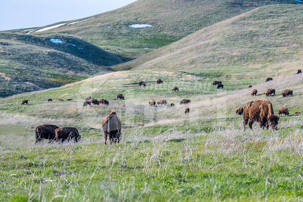 American Bison in the field of Custer State Park, South Dakota