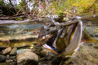 Pink Salmon Spawning sequence 2-07