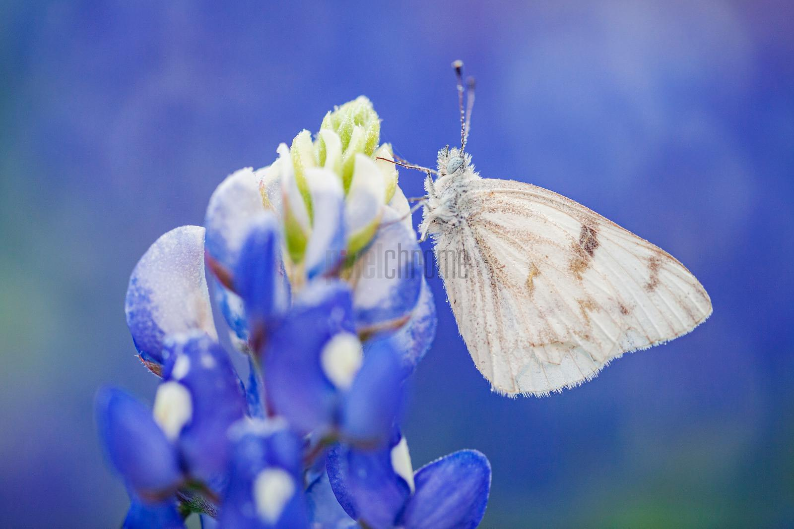 Checkered White Butterfly on a Bluebonnet