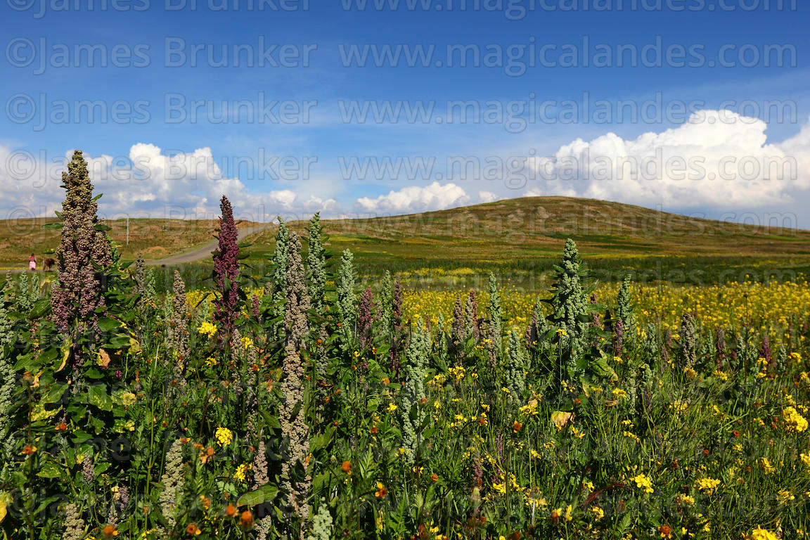 Mixed field of quinoa (Chenopodium quinoa)and rapeseed (Brassica napus) plants growing on altiplano, Bolivia