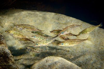 Group of Three-spined stickleback, Gasterosteus aculeatus, in a rocky river environment.