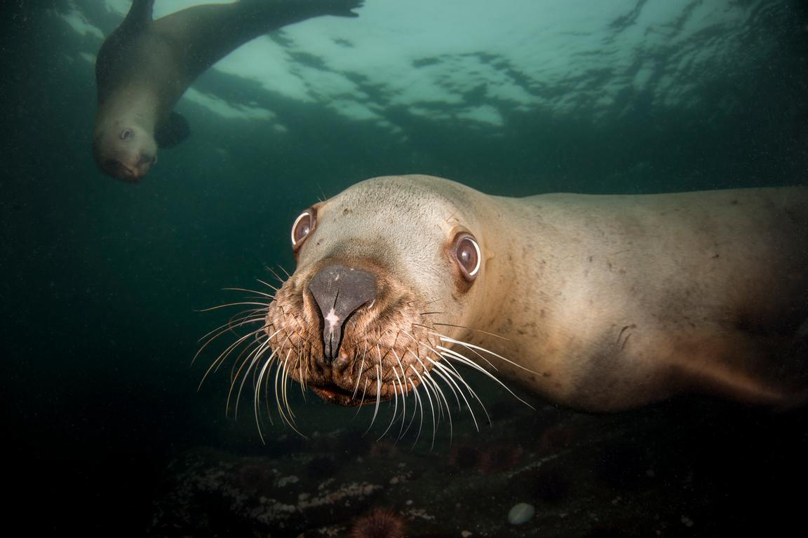 Steller Sea Lion, Eumetopias jubatus, staring at the camera.