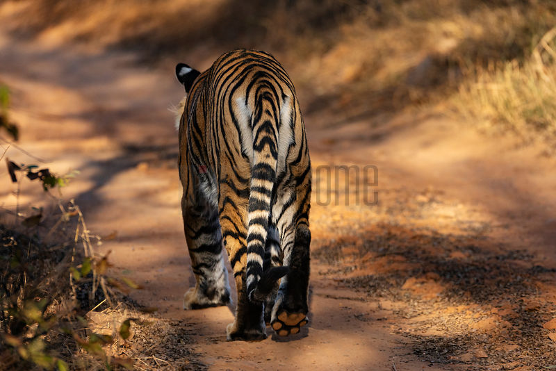 Rear View of Bengal Tiger (Panthera tigris tigris) Walking Down a Track in Ranthambore National Park