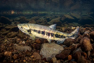 Chum salmon spawning sequence 1-03