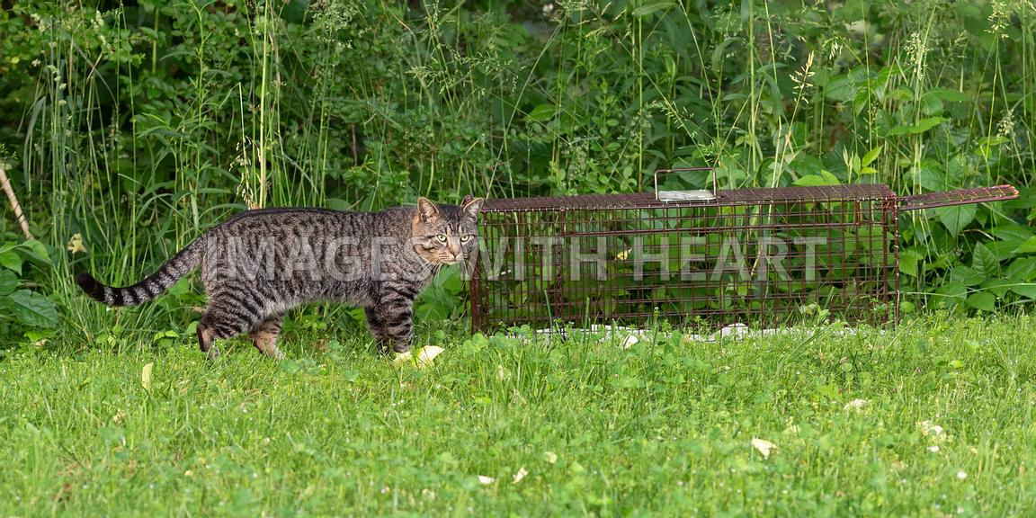 Brown tabby cat walking beside humane trap