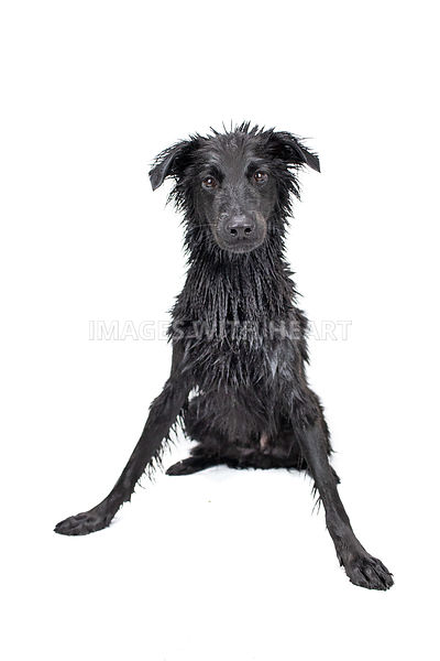 Wet dog studio shot full body