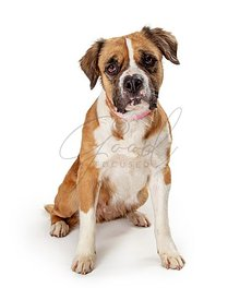 Cute pet crossbreed dog sitting isolated