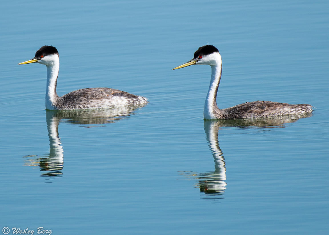 Western Grebes with Reflection