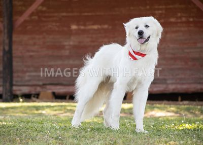 Great Pyrenees outdoor portrait