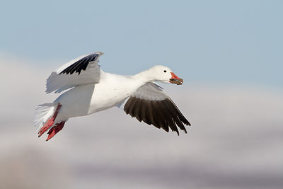 Snow Goose with Muddy Beak