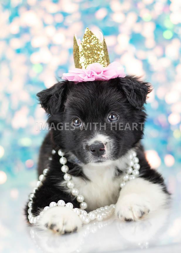 Portrait of black and white puppy wearing crown and pearls