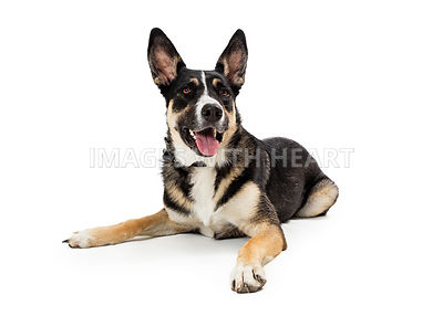 Front lying listening mixed shepherd dog isolated