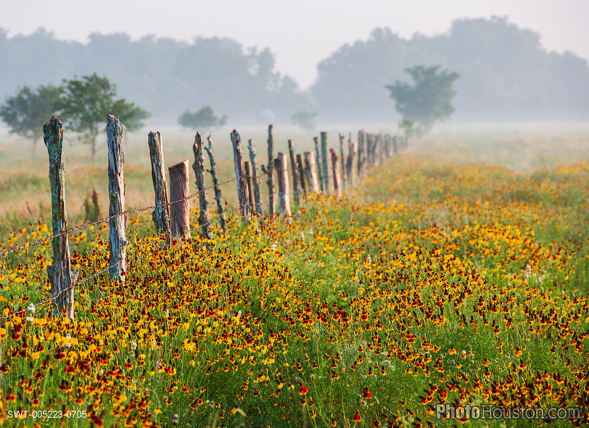 Mexican Hat wildflowers blooming in a field in Waller County, Texas