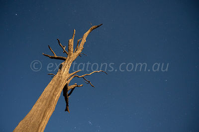 Dead tree by moonlight
