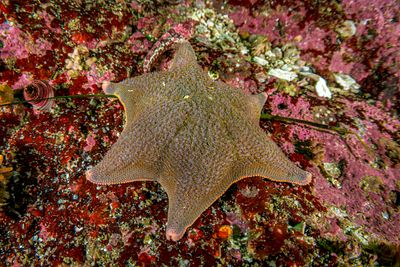 Brown coloured Bat Star with six legs.