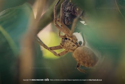 Marco photo of a lurking Wolf Spider