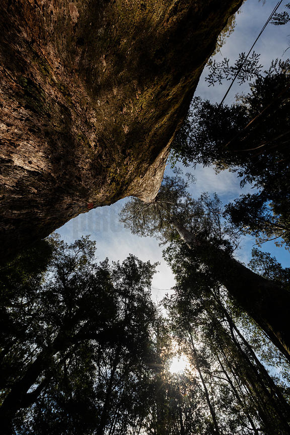Looking up at a Giant Eucalyptus regnans