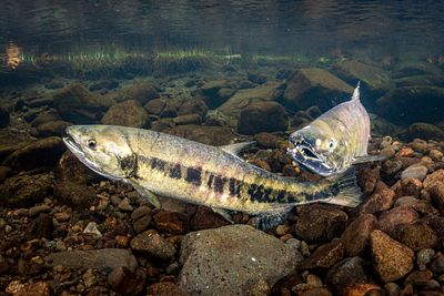 Chum salmon spawning sequence 1-07