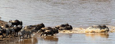 Wildebeest Racing Across Mara River