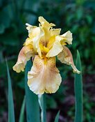 Iris-yellow-5342_May_10_2019_NAT_WHITE
