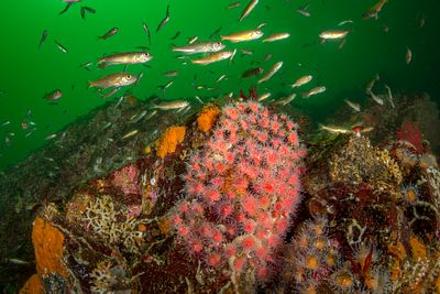 Small clump of Strawberry nemone with juvenile Widow Rockfish in Tahsis Inlet.