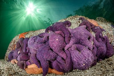 Group of Purple Ochre Stars, Pisaster ochraceus, with sunlight streaming through the water.
