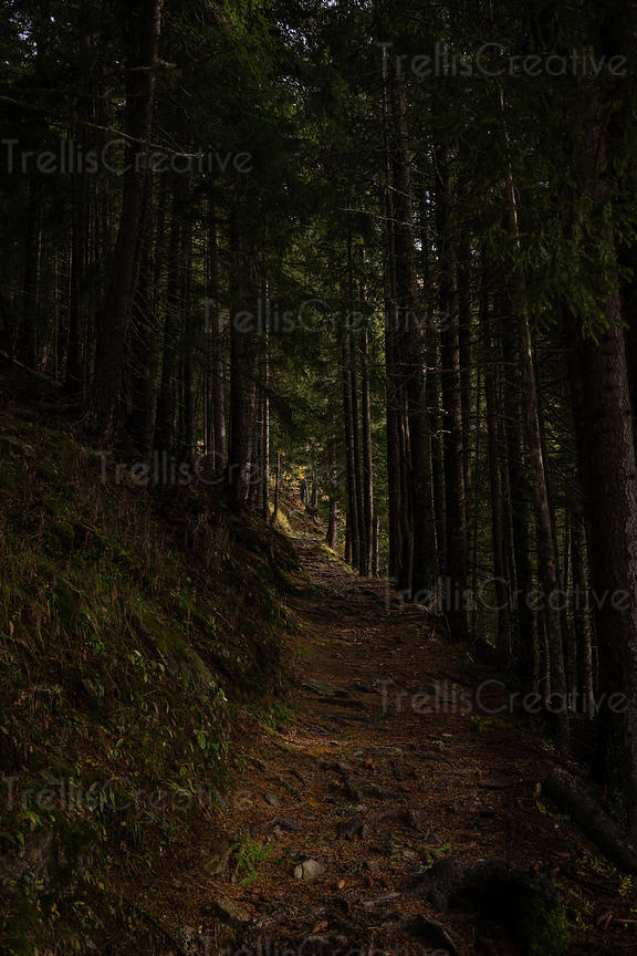 A quiet dirt hiking trail into a pine forest
