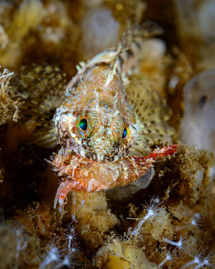 Scalyhead Sculpin, Artedius harringtoni, eating a shrimp.