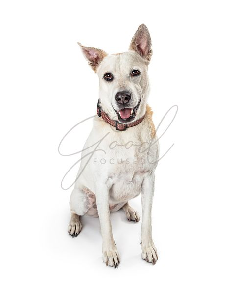 Cheerful Mixed Large Breed White Dog