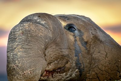 Closeup of male Elephant Seal at Race Rocks, Vancouver Island, during sunset.