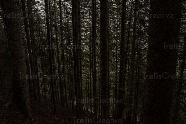 Peering into a dense lower canopy of evergreen pine trees