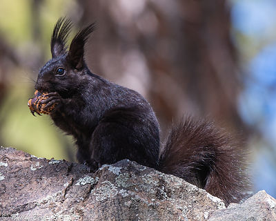 Abert's Squirrel Munching on a Pinecone