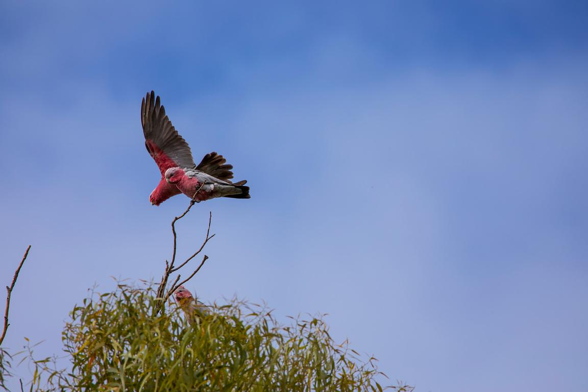 Galahs sitting in a tree