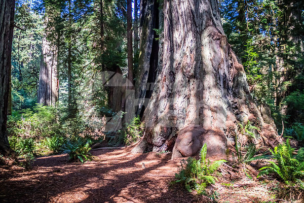 Giant Sequoia Tree in Redwoods National & State Parks - California