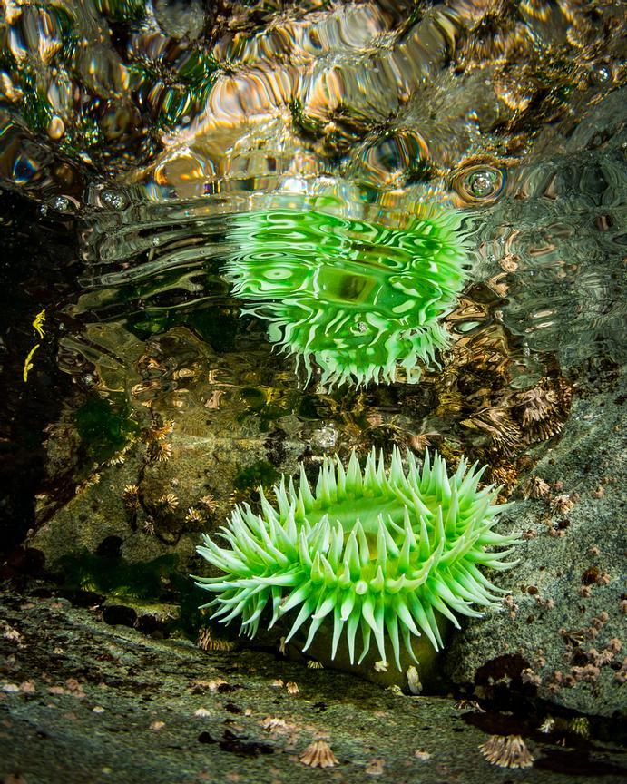 Reflection under the oceans surface of a Giant Green Anemone