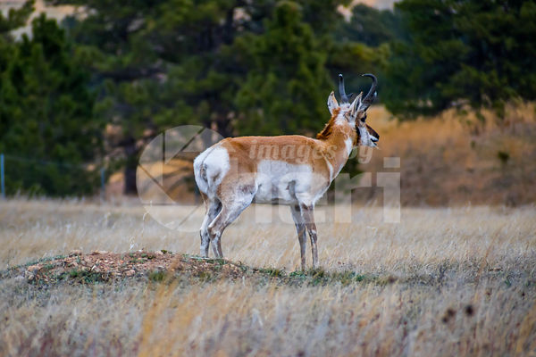 Pronghorn in the field of Wind Cave National Park, South Dakota