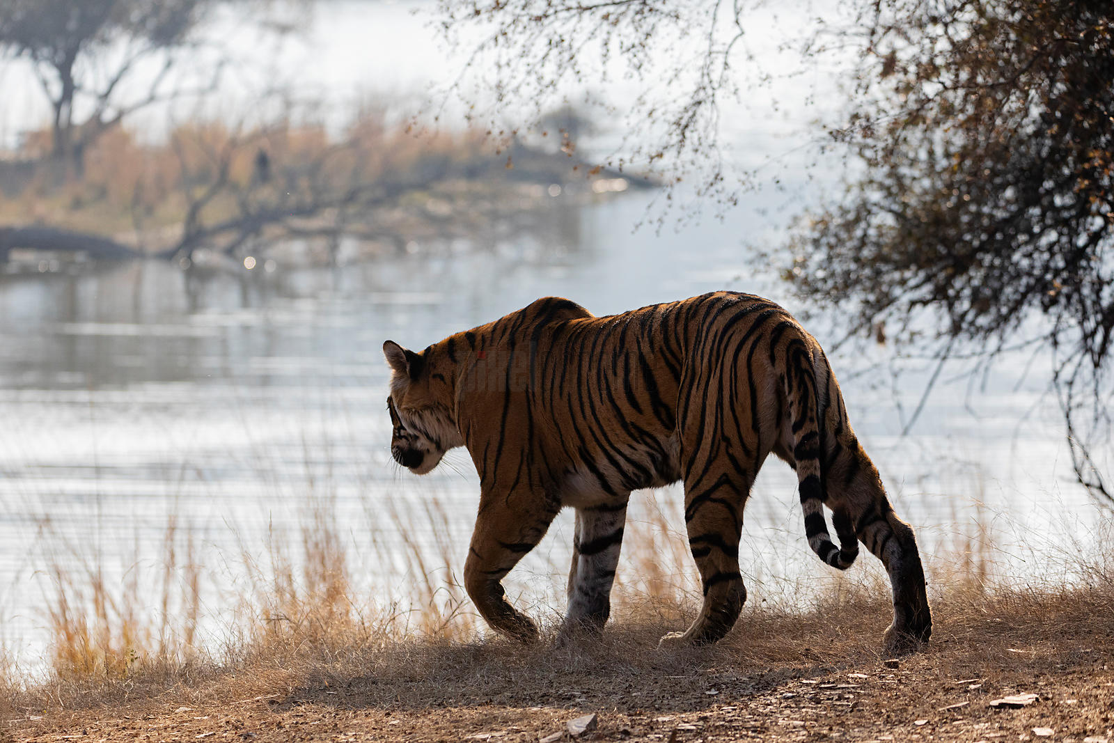 Tigress Walking Towards Lake