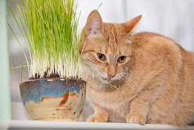 Orange Tabby Sticks Tip Of Tongue Out Eating Cat Grass