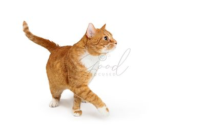 Orange Tabby Cat Walking to Side Paw Extended