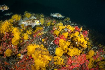 Group of Copper Rockfish, Sebastes caurinus, swimming above Yellow sponge and Strawberry Anemone in Discovery Passage.