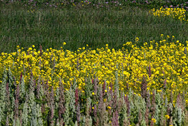 Mixed field of rapeseed (Brassica napus) and quinoa (Chenopodium quinoa) plants growing on altiplano, Bolivia