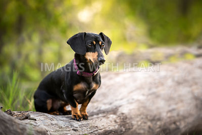 Dachshund on a log outdoors
