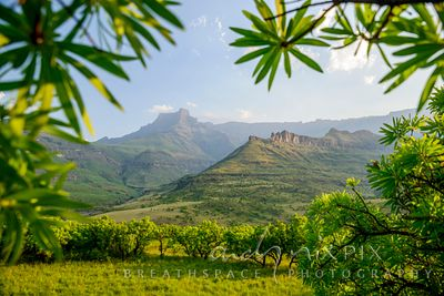 View of the Amphiteatre escarpment mountains and foothills with small protea forest in foreground
