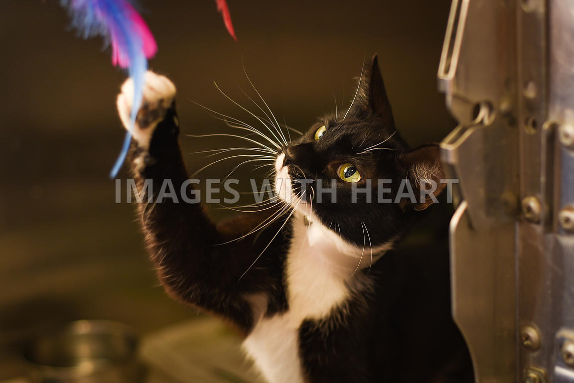 Black and white cat playing with feather wand