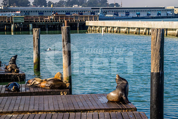 California Sea Lion in San Francisco, California
