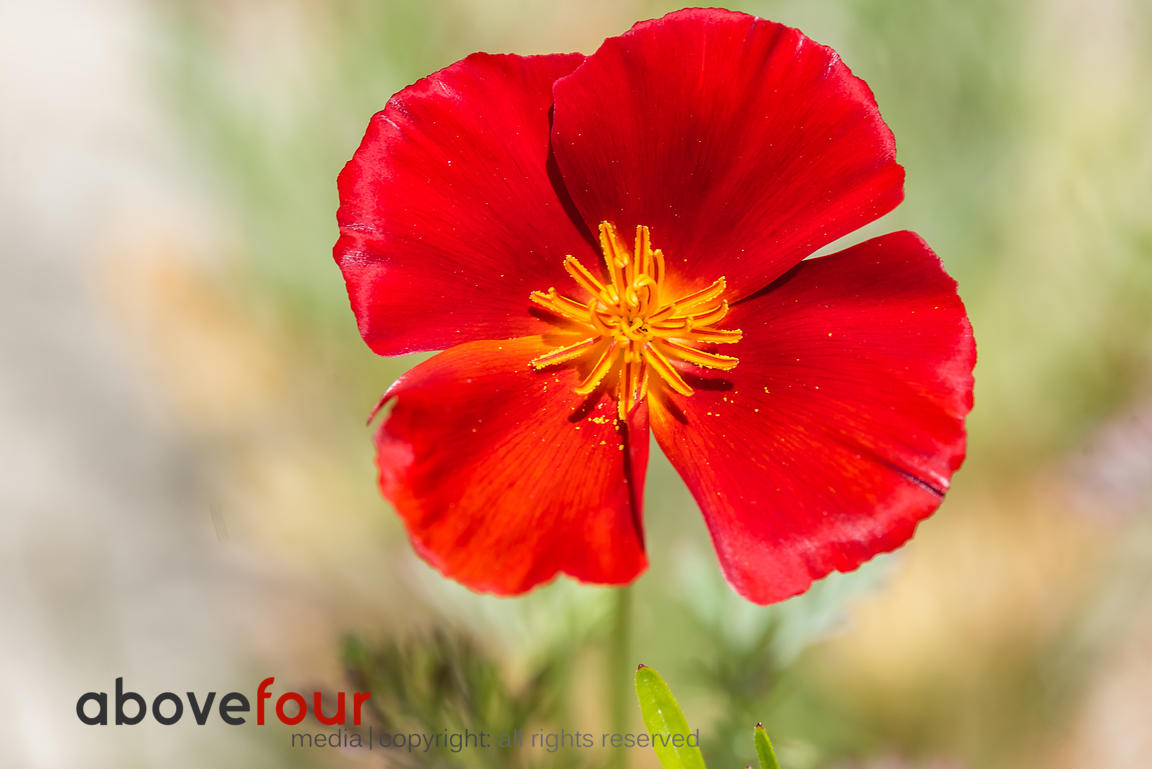 Red California Poppy flower in the garden